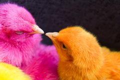 Chicken little kiss Royalty Free Stock Photos