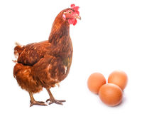 Chicken live bird redhead looks at three eggs Royalty Free Stock Images