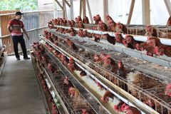 Chicken livestock business Stock Images