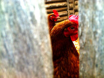 Chicken look in the fence crevice. The chicken is watching you Royalty Free Stock Photography
