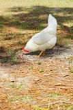 A chicken is looking for food Stock Images