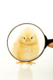 Chicken looking through a magnifier Royalty Free Stock Photography
