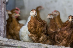 Chicken looks through hen house open door Royalty Free Stock Images