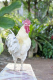 Chicken a male chicken of pets Royalty Free Stock Image