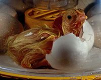 Chicken male inside the egg is making hole and is on my way out. A chicken male from the Hedemora breed, an old breed in Sweden .... as with its horn on the fist stock photos