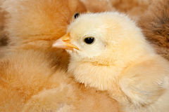 Chicken with many chicks huddled around Stock Photography