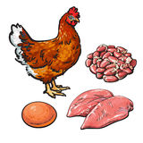Chicken meat with egg and hearts. Vector illustration sketch  on white background, sketch chicken products for food, chicken hearts and egg fillets, fresh Stock Photos