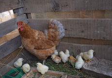 Chicken mother with chickens Royalty Free Stock Images