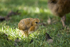 Chicken on the Move Stock Photo