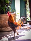 Chicken native Thailand. In farm Stock Images