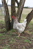 Chicken in nature Stock Photo