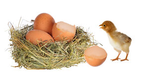 Chicken near nest with eggs on white Royalty Free Stock Photo