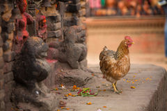 Chicken in Nepalese village. Ancient ruins. Royalty Free Stock Photos
