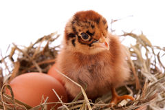 Chicken  in nest Royalty Free Stock Photos