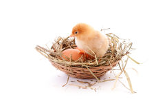 Chicken in nest Royalty Free Stock Photography