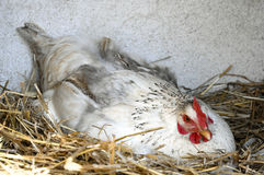 Chicken in nest Royalty Free Stock Image