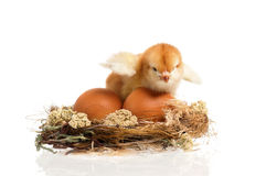 Chicken in nest Stock Photo