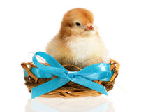 Chicken in nest Stock Photography