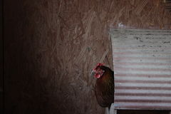 Chicken in Nest Box Stock Images