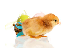Chicken in nest with Easter eggs stock photography