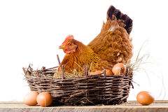 Chicken in nest with eggs isolated on white Stock Images