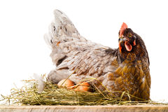 Chicken in nest with eggs isolated on white stock photos