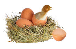 Chicken in nest with eggs on white Royalty Free Stock Photos
