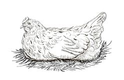 Chicken in the nest. Hand drawing chicken in the nest on a white background vector illustration