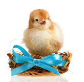 Chicken in nest Royalty Free Stock Photo