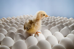 Chicken nestling Stock Photography