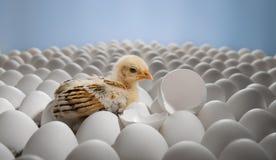 Chicken nestling Stock Photo