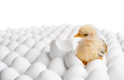 Chicken nestling. One yellow chicken nestling on many hen's-eggs, on white background, isolated royalty free stock photos
