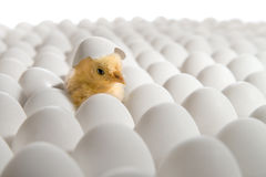 Chicken nestling Royalty Free Stock Photography