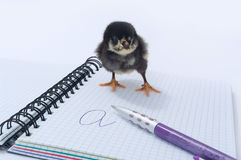 Chicken on the notebook. Stock Image