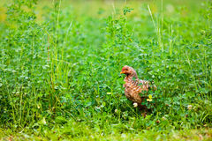 Chicken outdoor Royalty Free Stock Photo