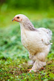 Chicken outdoor Royalty Free Stock Image