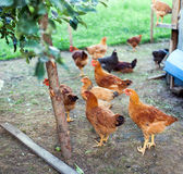 Chicken outdoor Stock Image