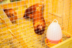 Chicken pecking food. Chicken pecking food in cage Stock Photos