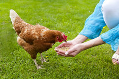 Chicken picking Royalty Free Stock Photography