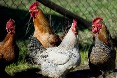 Chicken portrait Royalty Free Stock Image