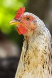 Chicken portrait Stock Photography