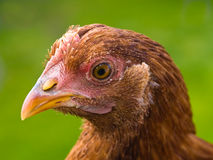 Chicken Portraits Royalty Free Stock Image