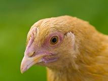 Chicken Portraits Royalty Free Stock Photo