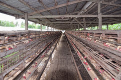 Chicken Poultry Farm Stock Image