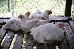 Chicken in a poultry farm Royalty Free Stock Image