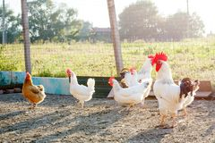 Chicken on a poultry farm. Royalty Free Stock Photo