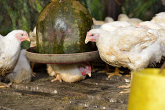 Chicken in poultry farm Royalty Free Stock Image