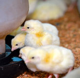 Chicken in poultry farm. Selective focus Stock Photos