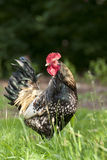 Chicken poultry rooster Royalty Free Stock Photography