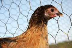Chicken profile. Closeup profile of chicken against chiken wire fence Royalty Free Stock Photos